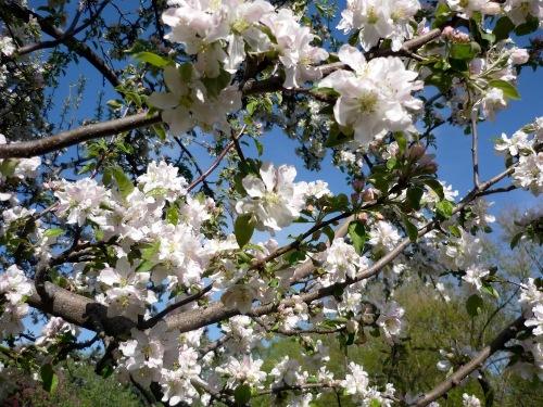 Cerisiers_en_fleurs