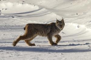 32- Lynx (Alain Blanchette)